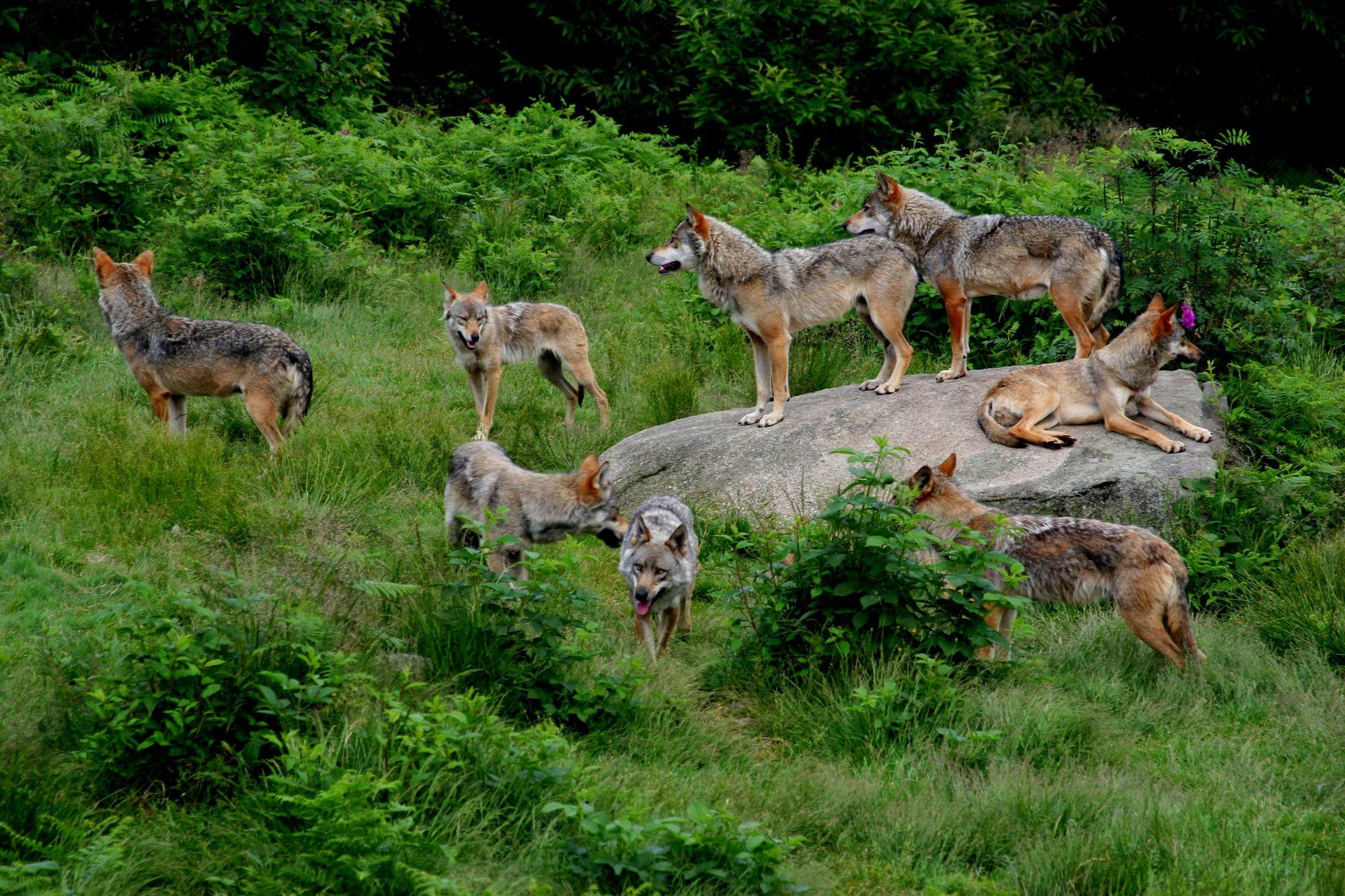 Gîte de 12 personnes en Creuse - Meute de loup